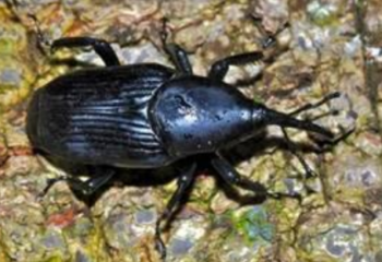 South_American_Black_Palm_Weevil